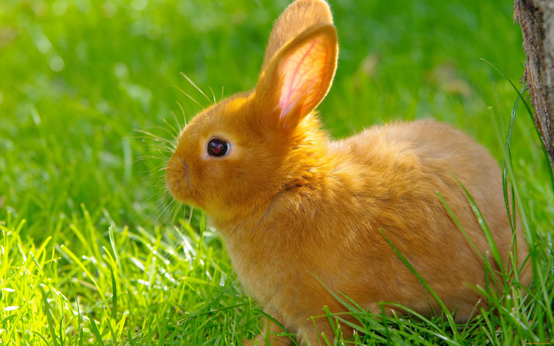 Желтый кролик картинка